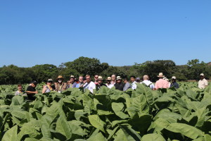 Tobacco Fields at Plasencia